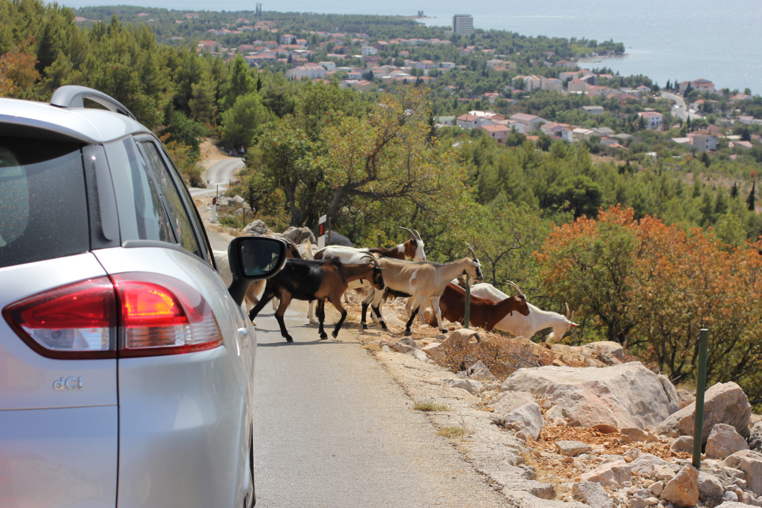 Private transfer car going from Budapest to Zagreb stopped on a road for goats crossing the road